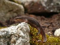 Lissotriton vulgaris Triton ponctué femelle phase terrestre Kleine watersalamander vrouwtje landfase
