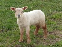 Ovis aries Mouton agneau Schaap lammetje