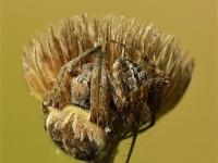 Agalenatea redii copula Épeire de velours Brede wielwebspin