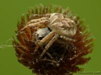 Agalenatea redii feminine Épeire de velours femelle Brede wielwebspin vrouwtje