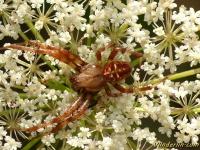 Araneus diadematus masculine Épeire diadème mâle Kruisspin mannetje