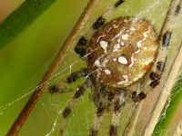 Araneus quadratus feminine Épeire à quatre points femelle Viervlekwielwebspin vrouwtje IV