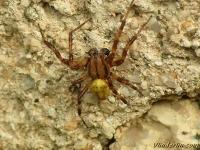 Araneus quadratus masculine Épeire à quatre points mâle Viervlekwielwebspin mannetje