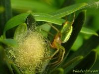 Araniella cucurbitina feminine Araignée courgelle Gewone komkommerspin vrouwtje