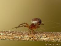 Araniella cucurbitina masculine Araignée courge mâle Gewone komkommerspin mannetje