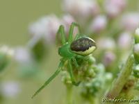 Diaea dorsata feminine Thomise tricolore femelle Groene krabspin vrouwtje