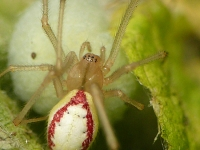 Enoplognatha ovata feminine Théridion ovoïde femelle Gewone tandkaak vrouwtje