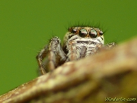 Evarcha arcuata feminine Evarcha arcuata femelle Bonte grasspringspin vrouwtje