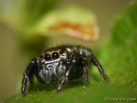 Evarcha arcuata masculine Evarcha arcuata mâle Bonte grasspringspin mannetje