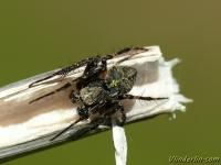 Gibbaranea gibbosa masculine Épeire à bosses mâle Boomknobbelspin mannetje
