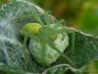 Micrommata virescens feminine Micrommata verte femelle Groene jachtspin vrouwtje I