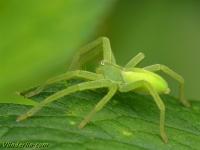 Micrommata virescens feminine Micrommata verte femelle Groene jachtspin vrouwtje