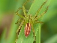 Micrommata virescens masculine Micrommata verte mâle Groene jachtspin mannetje