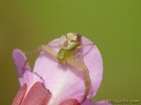 Misumenops tricuspidatus feminine Misumenops tricuspidatus femelle Struikkameleonspin vrouwtje