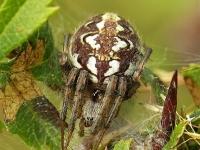 Neoscona adiante feminine Epeire adiante femelle Heidewielwebspin vrouwtje