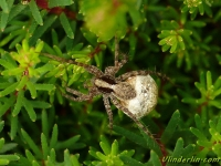 Pardosa lugubris feminine Araignée loup femelle Zwartstaartboswolfspin vrouwtje