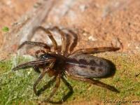 Segestria senoculata Segestria senoculata femelle Boomzesoog vrouwtje