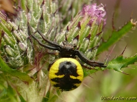 Synema globosum Araignée napoléon femelle Blinkende krabspin vrouwtje