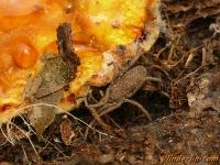 Trogulus nepaeformis Facucheux nèpe Trogulus nepaeformis