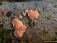 Aleurodiscus amorphus Corticie amorphe Oranje meelschijfje