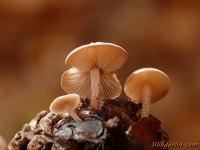 Baeospora myosura Collybie queue-de-souris Muizenstaartzwam