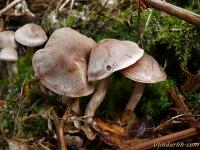 Cortinarius anomalus Cortinaire anormal Vaaggegordelde gordijnzwam