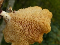 Polyporus alveolaris Polypore du mûrier Polyporus alveolaris