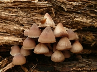 Psathyrella multipedata Psathyrelle cespiteuse Bundelfranjehoed