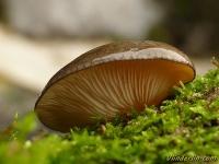 Sarcomyxa serotina Pleurote tardif Groene schelpzwam