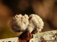 Schizophyllum commune Schizophylle commun Waaiertje