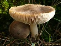 Tricholoma myomyces Tricholome gris souris Muisgrijze ridderzwam