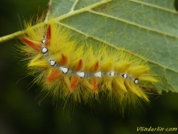 Acronicta aceris larva La Noctuelle de l'erable chenille Bont schaapje rups