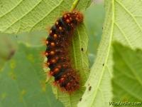 Acronicta auricoma larva La Chevelure dorée chenille Goudhaaruil rups