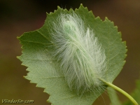 Acronicta leporina larva La Noctuelle-lièvre chenille Schaapje rups