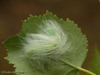 Acronicta leporina larva La Noctuelle-chenille Schaapje rups