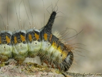 Acronicta psi larva Le Psi chenille Psi-uil rups
