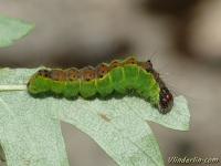 Acronicta strigosa larva La Noctuelle grisette chenille Moerasbos-uil rups