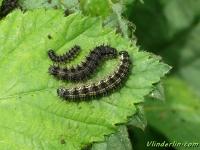Aglais urticae larvae La Petite tortue chenilles Kleine vos rupsen