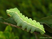 Aglia tau larva La Hachette chenille Tauvlinder rups