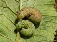 Agrochola pistacinoides larva La Xanthie sanguine larve Agrochola pistacinoides larve