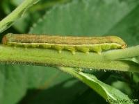 Ammoconia caecimacula larva La Noctuelle aveugle chenille Nazomeruil