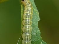 Anania hortulata larva Pyrale de l'ortie chenille Bonte brandnetelmot rups