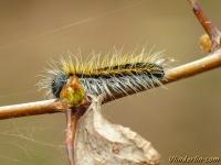 Aporia crataegi larva Le Gazé chenille Groot geaderd witje rups