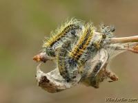 Aporia crataegi larvae Le Gazé chenilles Groot geaderd witje rupsen