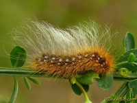 Arctia caja larva L'Ecaille martre chenille Grote beer rups