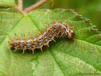 Brenthis daphne larva Le Nacré de la ronce chenille Braamparelmoervlinder rups