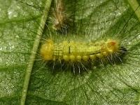 Calliteara pudibunda larva La Pudibonde chenille Meriansborstel rups