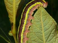 Ceramica pisi larva La Noctuelle du pois chenille Erwtenuil rups
