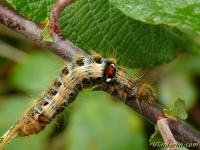 Clostera anachoreta larva La Hausse-queue fourchue chenille Kleine wapendrager rups