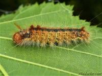 Colocasia coryli larva La Noctuelle du coudrier chenille Hazelaaruil rups